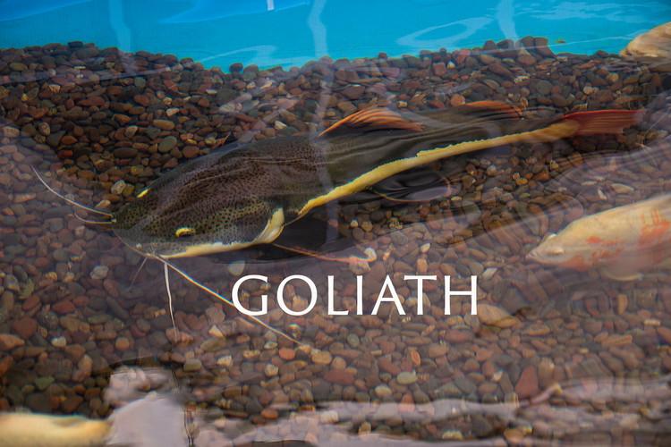 GOLIATH.jpg