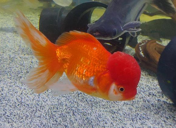 Large Red Thai Oranda  4-6 inch