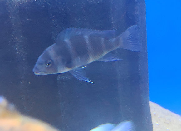 Wild Blue Moba Frontosa (Cyphotilapia frontosa) 3-5 inch