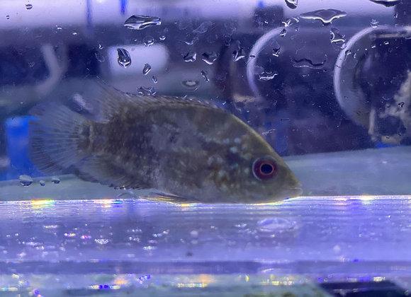 Red Texas Cichlid 3-4 inch