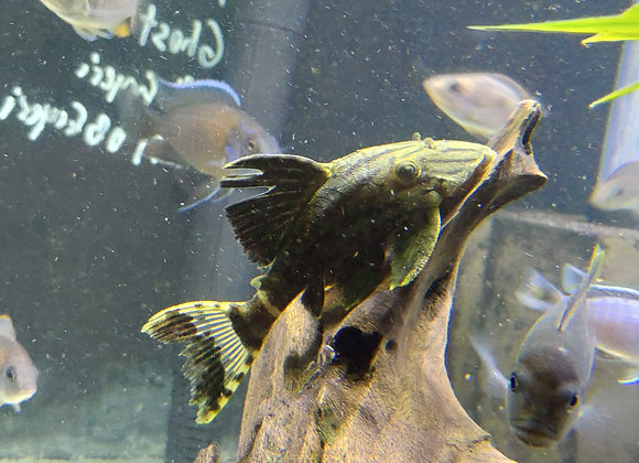 Medium Royal Pleco L-190 (Panaque nigrolineatus) 3-4 inches