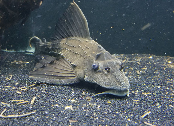XLG Rhino Pleco  (Pterygoplichthys scrophus)