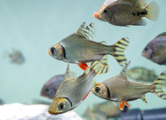 """Red Flagtail (Semaprochilodus insignis) 5-7"""""""