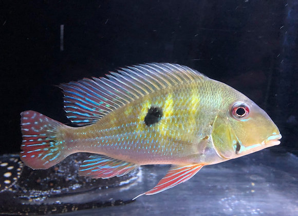 Wild Caught Red Striped Eartheater (Geophagus surinamensis) 6-8 inch