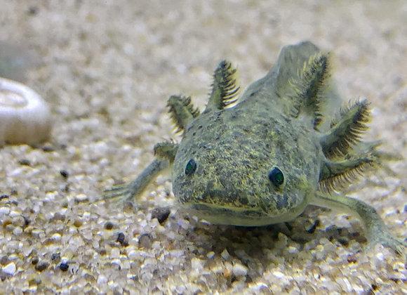 GFP Axolotl (Mexican Walking Fish) 4-6 inch