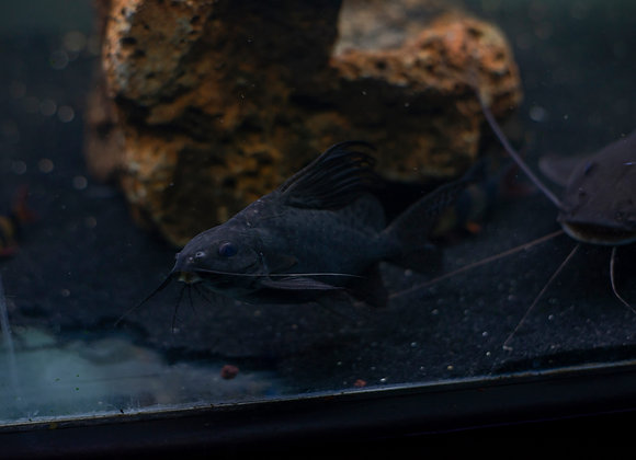 Black Sydontis Catfish (African Featherfin) 8 inch