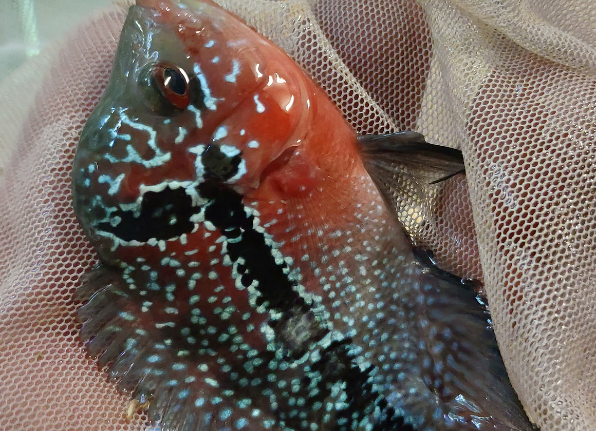 Magma Flowerhorn 3-4 inch Premium Grade | Angry Fish Sales