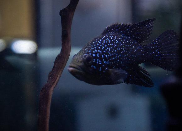 Large Polleni/Bleekeri (Starry Night Cichlid) 4-6 inch
