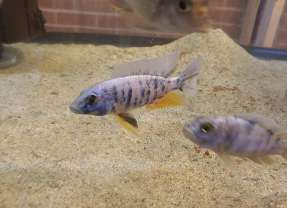 Noble Iceberg OB Cichlid (Male) (African Cichlid) 3-4 inches