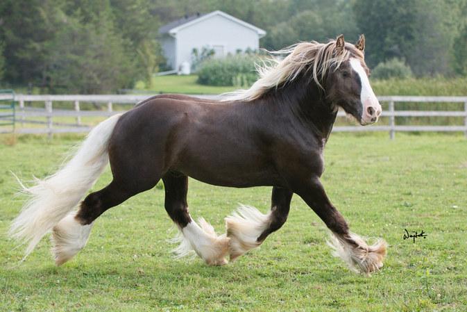Royal Fortune stallion