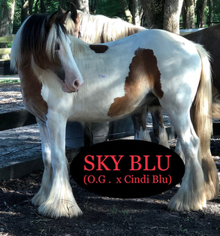 2018 sky yearling