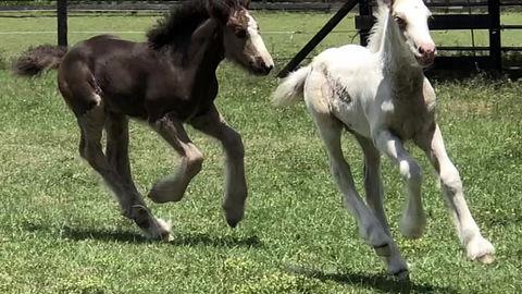 Gypsy colts at PLAY!