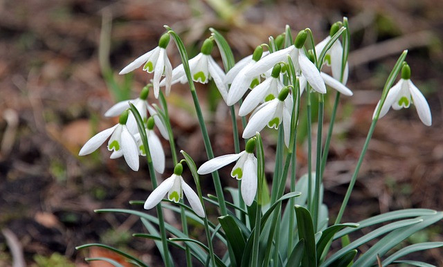 Snowdrops by Willy66 CC) Pixabay