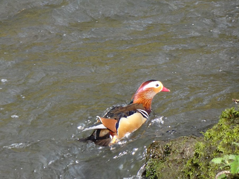 Mandarin duck on the Dove