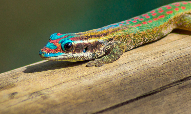 Fauna de Isla Mauricio