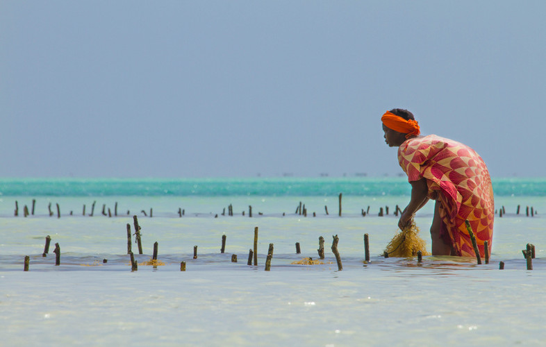 Recogiendo algas en Zanzíbar