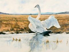 Swan Serenade