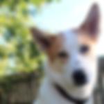 diabetes alert dog.png