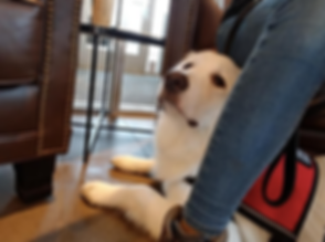 service dog training.png