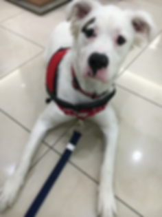 service dog in training.png