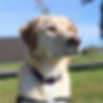 seizure alert dog.png