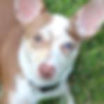 diabetes alert dog_edited.png