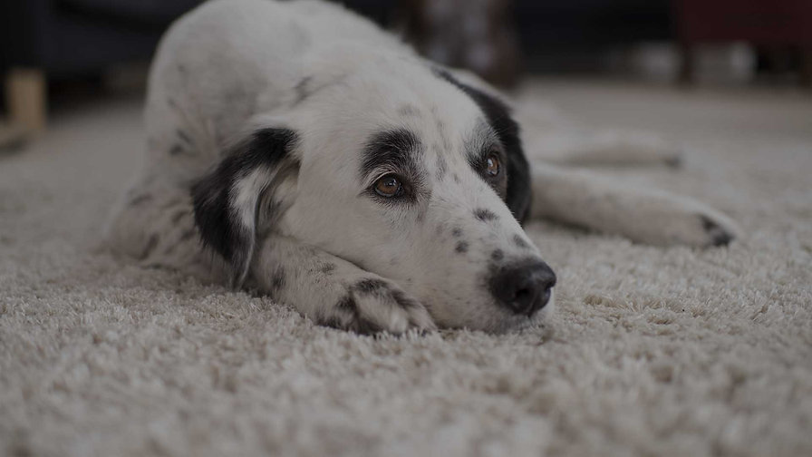 Dog Laying on Carpet in El Paso - Steamway Carpet Cleaning