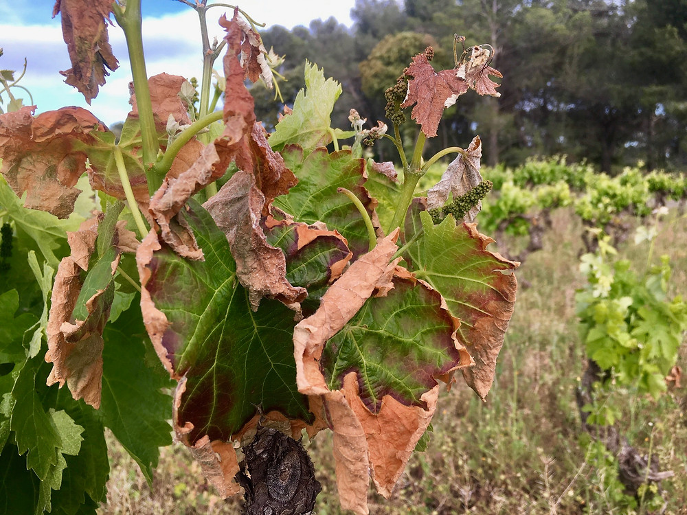 Vines affected by frost dammage
