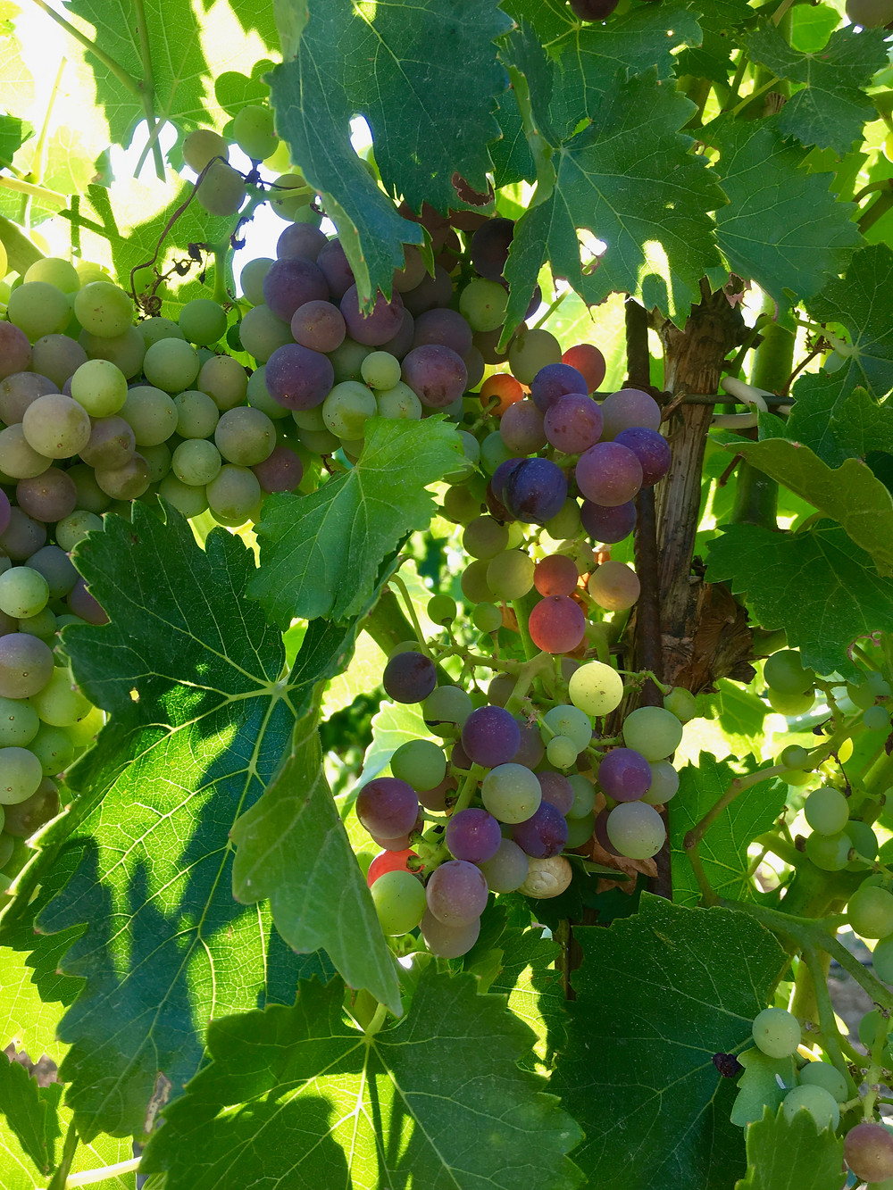 Grenache grapes in the veraison stage