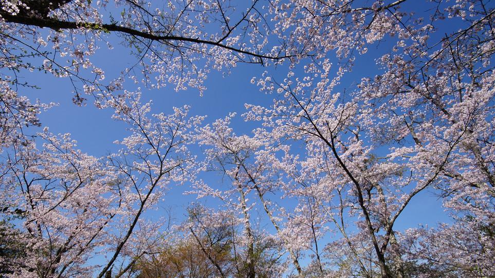 北遠 桜と秘境駅の旅