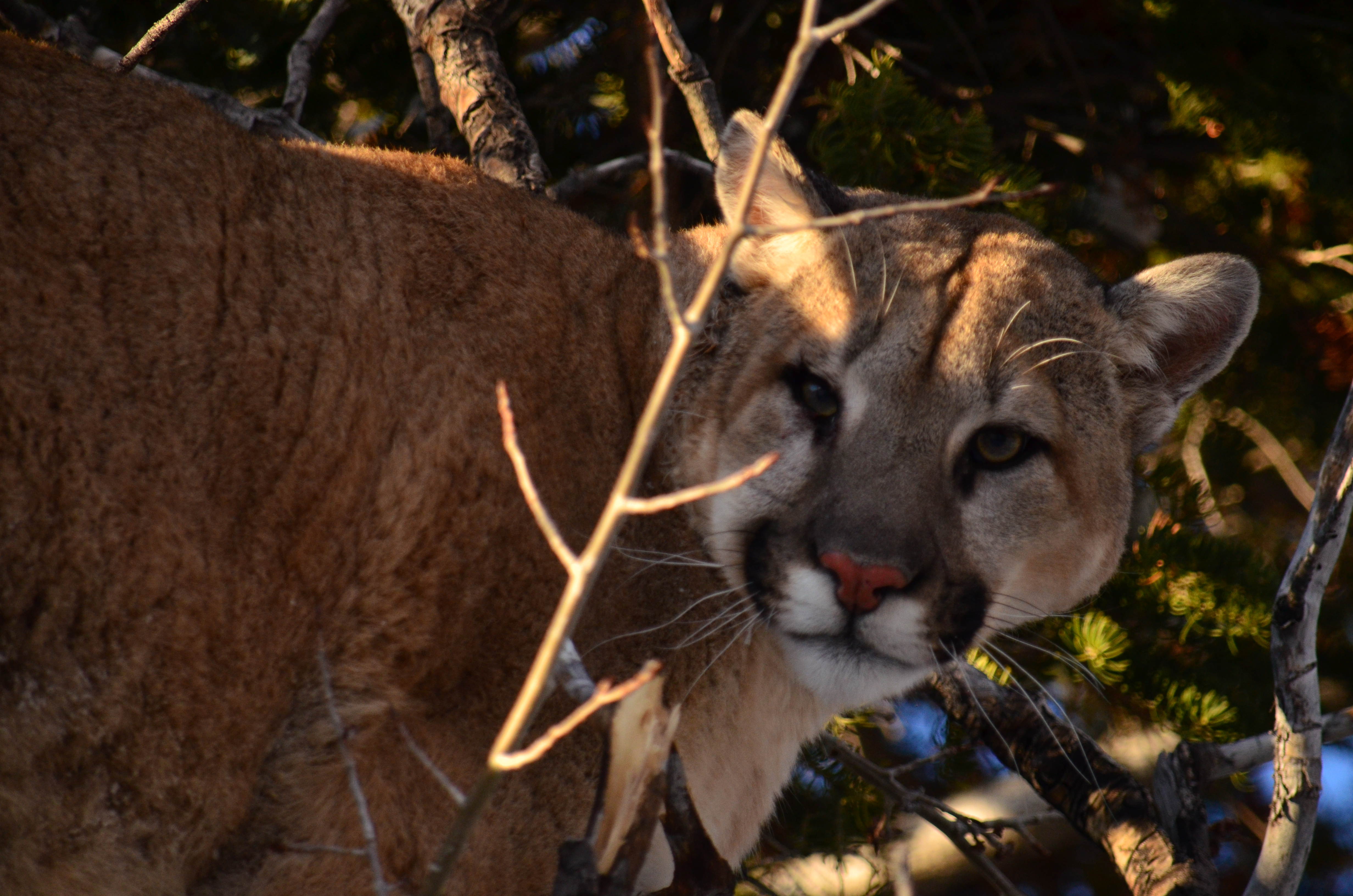 Trophy Mountain Lion