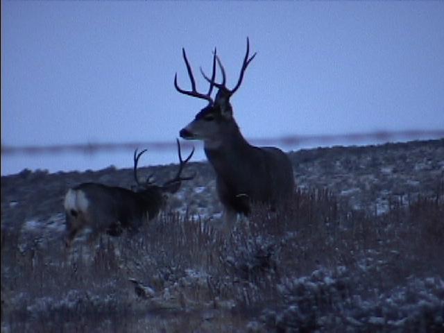 Deers106