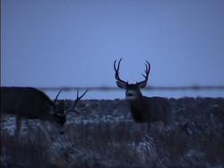 Deers105