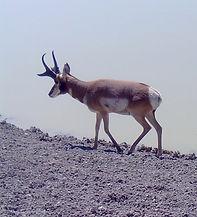 Trophy Antelope Hunting