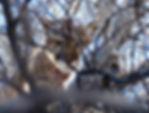 Mountain Lion Hunting Wyoming Colorado
