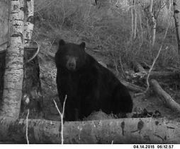 Trophy Black Bear Wyoming