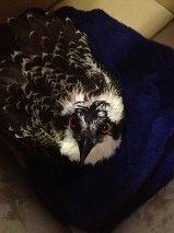 Rehab Osprey