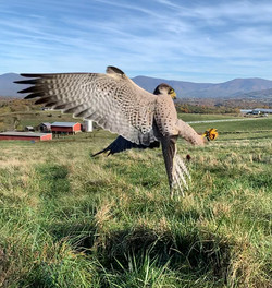 Ariel acrobatics of the falcon