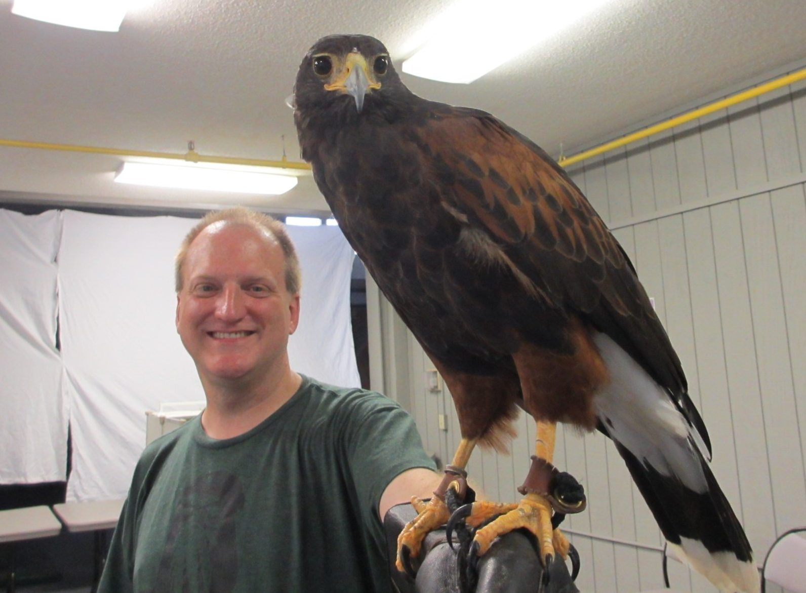 Sweetie the Harris Hawk