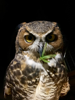 Great Horned Owl with Katydid