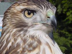 Dakota - Red Tail Hawk