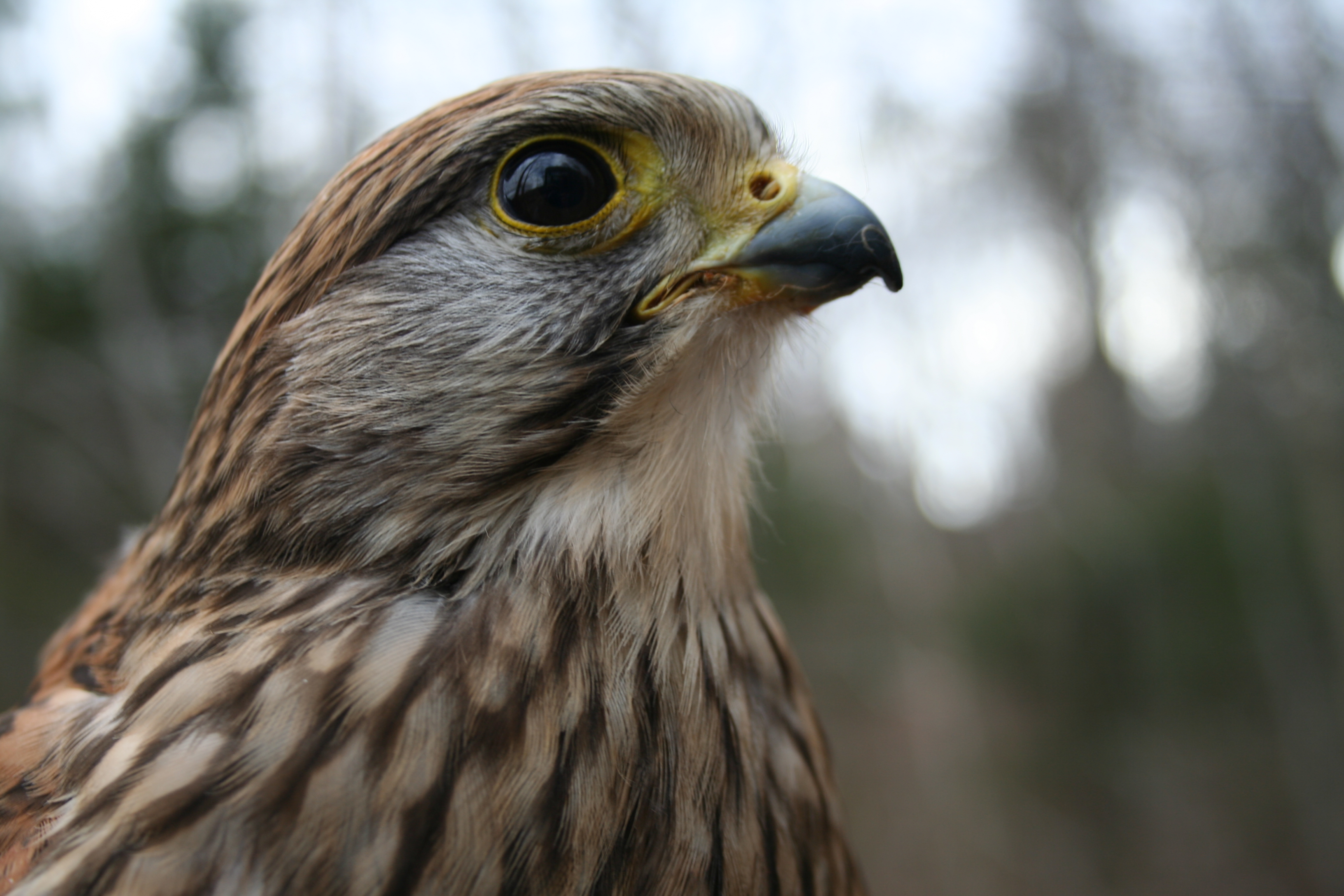 Pixie the Eurasian Kestrel