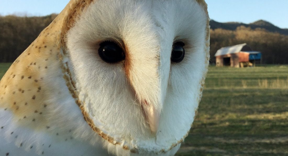 Barn Owl at Raptor Hill Falconry