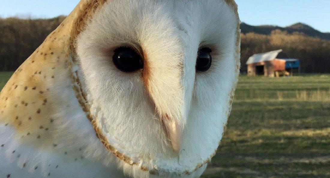 Barn Owl at Raptor Hill Falconry