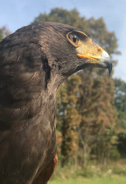 Mr. Wiggles the Harris Hawk
