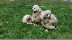 Eagle Owl Owlettes