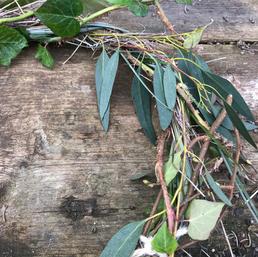 Vine eucalyptus twigs moss Ivy grasses picked from wild hedges. Vigne  eucalyptus brindilles mousse lierre herbes toutes cueillies dans les haies sauvages