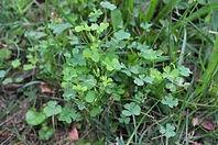 oxalis weed.jpg