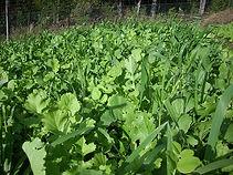 Green manure crops 2.jpg