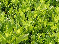 Sambung lettuce.jpg